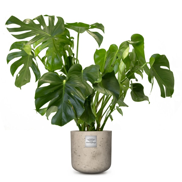 Nr. 203 Philondendron, Monstera CHF 129.00 mit Topf
